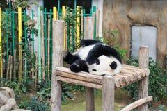 Panda que dorme no banco de madeira Imagens de Stock Royalty Free