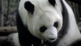 Panda que mastica lentamente en bambú almacen de metraje de vídeo