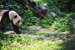 Panda que passeia o banco enlameado - Pequim fotos de stock royalty free