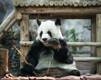 Panda que se sienta, y comiendo el bambú foto de archivo libre de regalías