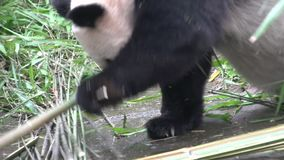 Panda recherchant le nouveau bambboo et mangeant le bambou tout en s'étendant sur le sien de retour à Chengdu Chine banque de vidéos