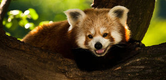 Panda red Royalty Free Stock Images