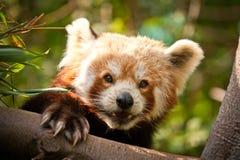 Panda red Stock Photo