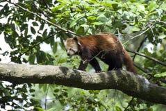 panda red Στοκ εικόνα με δικαίωμα ελεύθερης χρήσης