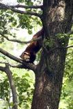 panda red στοκ εικόνες