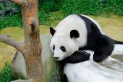 Panda resting on the stone. Panda resting on the white stone Royalty Free Stock Image