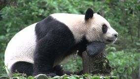 Panda resting on a tree trunk in Chengdu China stock video footage