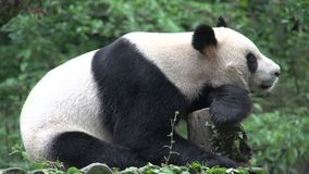 Panda resting on a tree trunk in Chengdu China stock footage