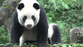 Panda resting on a tree trunk and yawning and leaving in Chengdu China stock video
