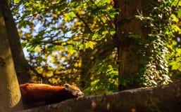 Panda Resting vermelho em uma árvore fotos de stock