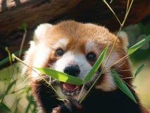 Panda roja Imagen de archivo