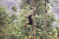 Panda roja fotografía de archivo libre de regalías