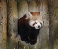 Panda roja Foto de archivo libre de regalías