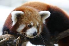 Panda roja 1 Imágenes de archivo libres de regalías
