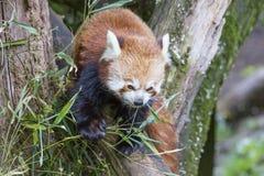 Panda roja Imágenes de archivo libres de regalías