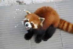 Panda roja Foto de archivo
