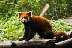 Panda roja Fotos de archivo libres de regalías