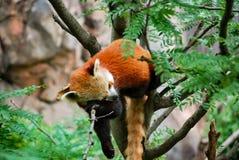 Panda roja cansada abajo para una siesta Imagen de archivo