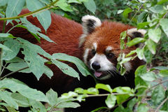Panda roja con las hojas verdes Fotos de archivo