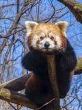 Panda roja de reclinación Imágenes de archivo libres de regalías