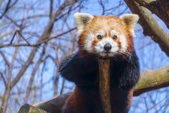 Panda roja de reclinación Fotos de archivo libres de regalías