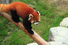 Panda roja de Styan Foto de archivo