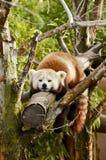 Panda roja el dormir Foto de archivo