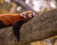 Panda roja el dormir Fotos de archivo