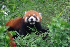 Panda roja en el árbol Foto de archivo