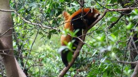 Panda roja en el árbol almacen de video