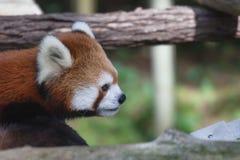 Panda roja en el PARQUE ZOOLÓGICO de Toronto imagen de archivo