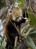 Panda roja en un árbol Imagen de archivo libre de regalías