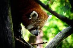 Panda roja en un árbol Imágenes de archivo libres de regalías