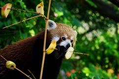 Panda roja en un árbol Fotos de archivo libres de regalías