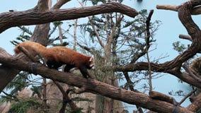 Panda roja en un ?rbol Panda roja adorable mientras que en un árbol que busca la comida almacen de metraje de vídeo