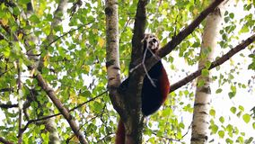 Panda roja en una ramificación de árbol metrajes