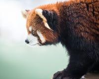 Panda roja II Foto de archivo libre de regalías