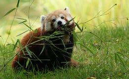 Panda roja masculina que mordisca en eucalipto Fotos de archivo libres de regalías