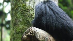 Panda roja negra que limpia su cuerpo en árbol metrajes
