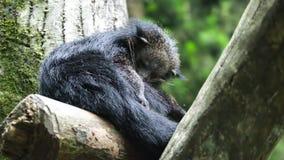 Panda roja negra que se sienta en rama almacen de video
