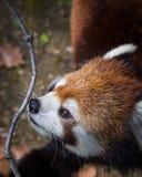 Panda roja o poca panda que huele una ramita Ci?rrese encima de tiro imágenes de archivo libres de regalías