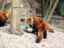 Panda roja o poco gato-oso del panda o rojo del oso-gato o rojo almacen de video