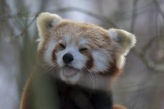 Panda roja, oso, incorporándose en cierre del árbol y retrato mientras que ríe o lame el aire foto de archivo