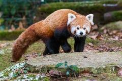 Panda roja que camina en el bosque fotos de archivo libres de regalías