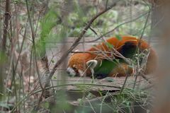 Panda roja que come el bambú Fotos de archivo libres de regalías