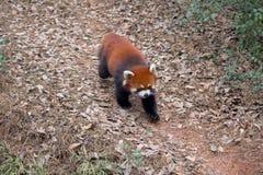 Panda roja que come el bambú Imagenes de archivo