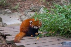 Panda roja que come el bambú Foto de archivo libre de regalías