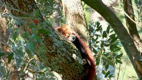 Panda roja que duerme en árbol almacen de metraje de vídeo