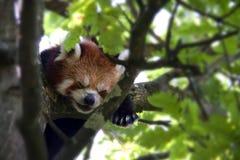 Panda roja que duerme en un árbol - primer del bebé Imagenes de archivo