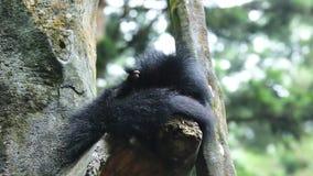 Panda roja que lame su cuerpo en el árbol metrajes